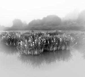the swamp of lilies
