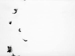 Aigle noir 1