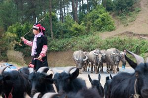 Dao woman with her livestock