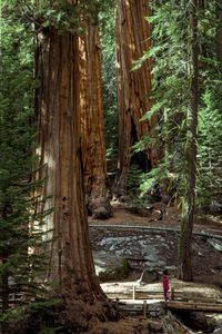 Giant Sequoias Fores in California, USA