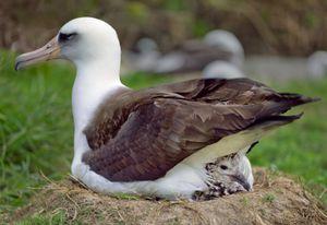 Laysan albatross parent and chick, Midway Island, 2012.