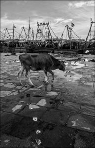 Cow to the Harbour