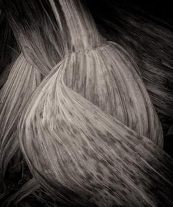 Corn Lily #2