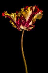 Tulipa iv 2015