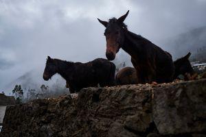 Mules near the city center of Choquecancha
