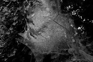 Tent Caterpillar Web #7
