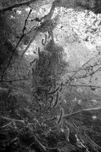 Tent Caterpillar Web #9