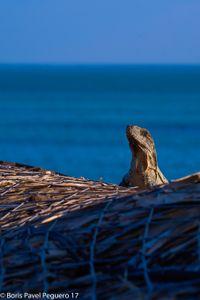 the Iguana isn't be tamed.