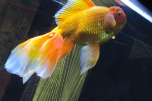 Parrot like Gold fish