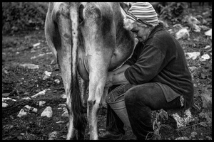 Twice a day Hovik and Armine milk the cows by hand.