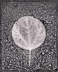 Leaf Cut #10, maple, 2018