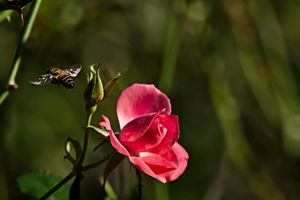 a Bee a Rose and a Thorn