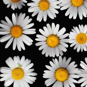 Oxeye Daisy (detail)