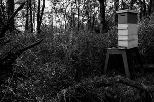 Bees in the Woods