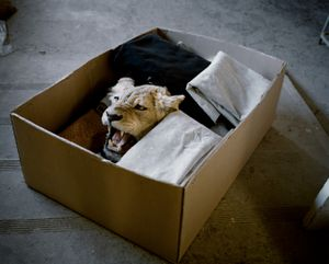 lioness in a box, eastern cape, south africa-from the series 'hunters'-David Chancellor