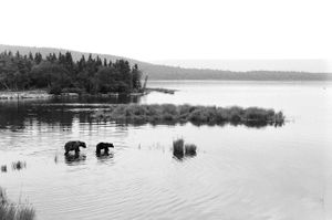 Two bears going out to fish in Katmai National Park