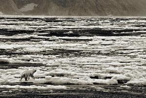 Polar Bear, Cumberland Sound, Baffin Island, Nunavut