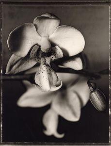 10 Phalaenopsis stuartiana  © Frazier King
