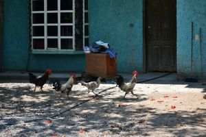 March of the Roosters,  Near Zihuatanejo, Mexico