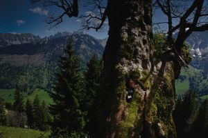 Ronny Mast, wildlife documentarist and cinematographer, hiding in an old tree; ready to film wild animals. Ronny Mast se cache dans un view arbre vide pour filmer les cerfs et autres animaux sauvages sans se faire remarquer.