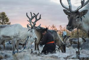 Milking Reindeer at Sunrise