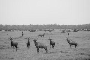 maasai mara - buck