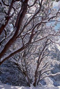 Manzanita etched in snow