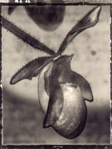 34 Paphiopedilum delophyllum (glaucophyllum x delenati) © Frazier King