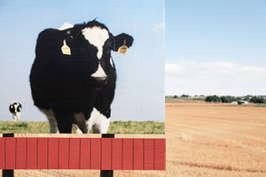 Cow Billboard, Colorado, 2010 © Patti Hallock
