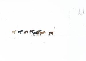 Nine horses, Iceland