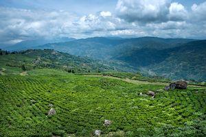 A plan tea garden.