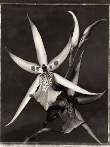 "28 Brassia doctacosa x Miltonia ""Seminole Blood"" © Frazier King"