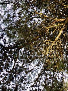 pine at Erice
