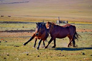 Horses in the great steppe.