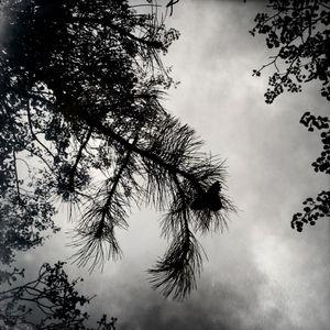 Ponderosa Canopy