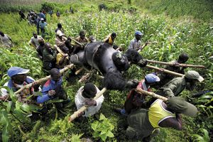 1st prize Contemporary Issues Singles © Brent Stirton, South Africa, Reportage by Getty Images for Newsweek. Evacuation of dead Mountain Gorillas, Virunga National Park, Eastern Congo.