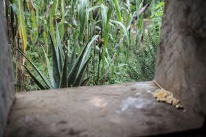 Corn and Aloe