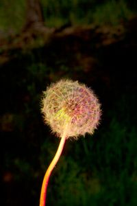 Dandelion in Red, Green and Blue