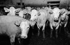 Cattle Callers-07