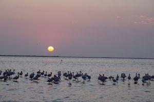 Flamingos Bathing at Dusk Part 2