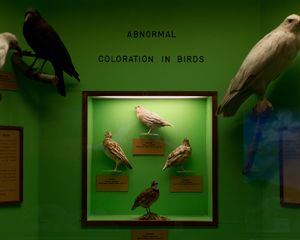 Abnormal Coloration in Birds; University of Kansas Natural History Museum, Lawrence