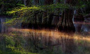 Dawn Cypress