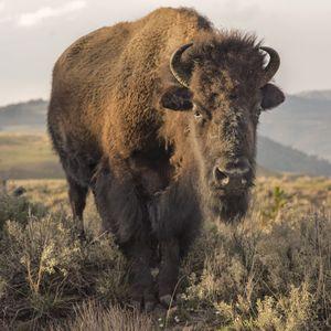 'Bison'