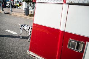 Dalmatian, Virginia Beach VA, November 2013