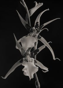 Brassidium Orchids
