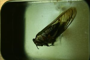 dead cicada in candy tine