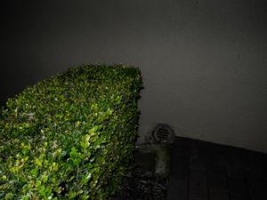 Trimmed bush. © Ross Duncan