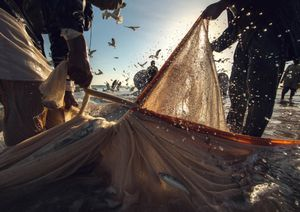 Sardine Season (7)