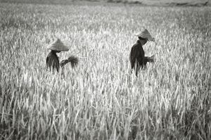 Into the rice fields
