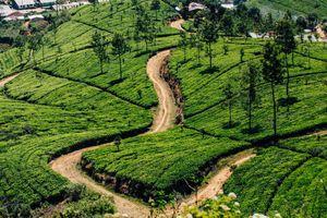 Tea fields below Adams Peak
